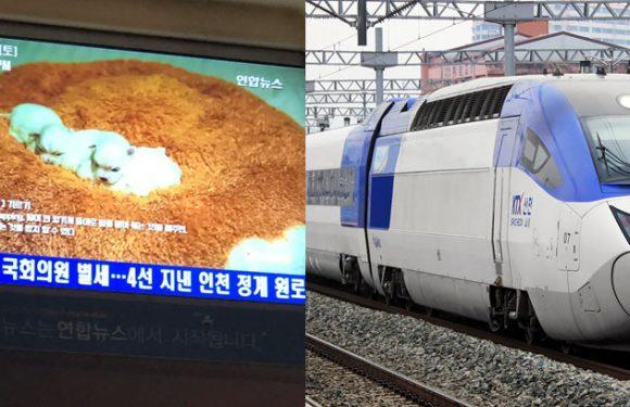 """KTX Züge zeigen """"Healing Broadcasts"""" mit Welpenbabies"""